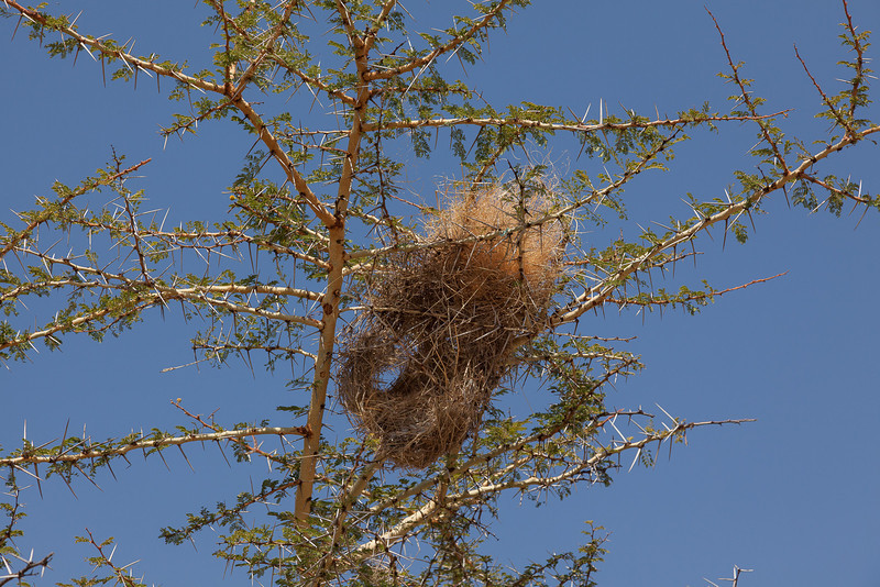 Thorny nest of the Buffalo Weaver (or some other Weaver).  The entry is in the bottom.