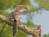 Yellow-billed Hornbill - Mudumu N.P., Namibia