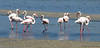 Greater Flamingos - Walvis Bay, Namibia