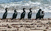 Cape Cormorants in flight - Swakopmund