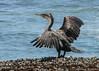 Great Cormorant - Swakopmund