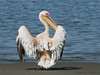 Great White Pelican - Walvis Bay, Namibia