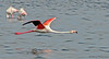 Greater Flamingo in flight - Walvis Bay, Namibia