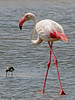 Greater Flamingo - Walvis Bay, Namibia