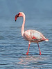 Lesser Flamingo - Swakopmund, Namibia