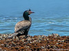 Crowned Cormorant - Swakopmund