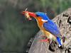 Malachite Kingfisher - Chobe N.P., Botswana
