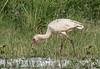 African Spoonbill, Chobe National Park