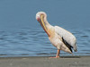 Great White Pelican - Walvis Bay