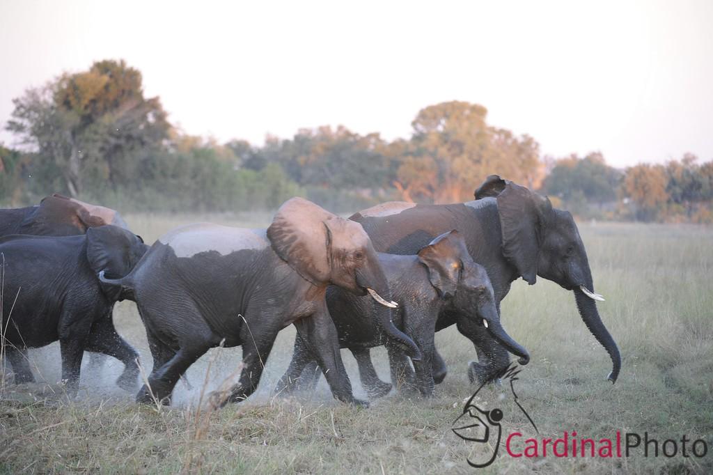 Chitabe, Botswana 1/ 250s, at f/4 || E.Comp:0 || 220mm || WB: AUTO 0. || ISO: 1600 || Tone:  || Sharp:  || Camera: NIKON D3on: 2008:05:09 18:53:30