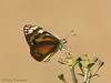 Topaz Arab, Colotis calais - Brandberg, Namibia