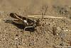 Grasshopper - Namibia, Windhoek