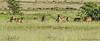Spotted Hyaenas and Black-backed Jackels - Namutoni, Etosha N.P., Namibia