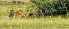 Spotted Hyaenas - Namutoni, Etosha N.P., Namibia