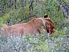 Lioness on kill - Okaukuejo, Etosha N.P., Namibia