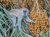 Vervet Monkey - Livingstone, Waterfront, Zambia