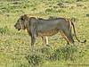 Lion male - Namutoni, Etosha N.P., Namibia