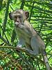 Vervet Monkey juvenile - Livingstone, Waterfront, Zambia