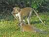 Vervet Monkeys - Livingstone, Waterfront, Zambia