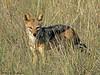 Black-backed Jackel - Namutoni, Etosha N.P. Namibia