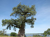 Baobab Tree at Ngomo border crossing Zambezi River, Botswana
