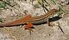 Lizard - Mayana Village, Namibia