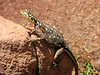 Namibian Rock Agami female - Twyfelfontein, Namibia