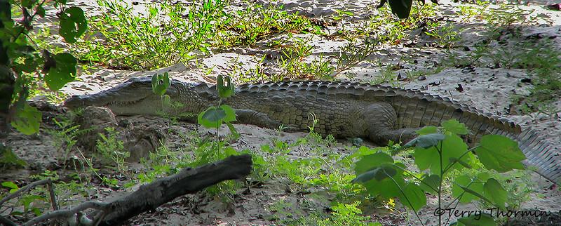 Nile Crocodile - Livingstone, Zambezi River, Zambia