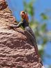 Namibian Rock Agami male - Twyfelfontein, Namibia