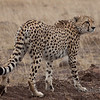 Cheetah Look Back