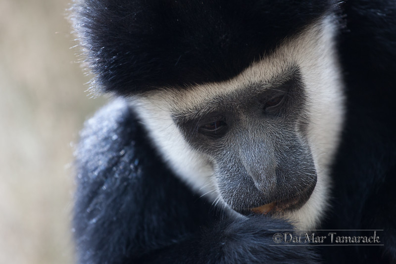 Black and White Colubus Monkey Protrait