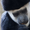 Black and White Colubus Monkey Protrait