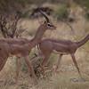 Rare Gerenuk, (Litocranius walleri), in Samburu, Kenya