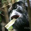 Mountain Gorilla eating bamboo. Uganda.
