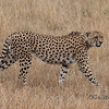 Cheetah Stride