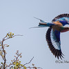 Lilac Breasted Roller in Mid Flight