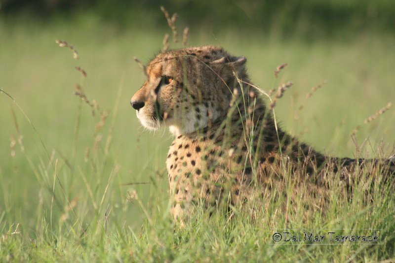 Cheetah lying in wait among the grass at Kruger National Park, South Africa