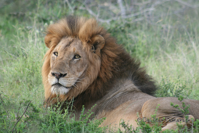 Male African Lion looking at me in the soft light just before sunset. Kruger National Park, South Africa