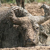 African buffalo caked in mud near Murchison Falls National Park, Uganda
