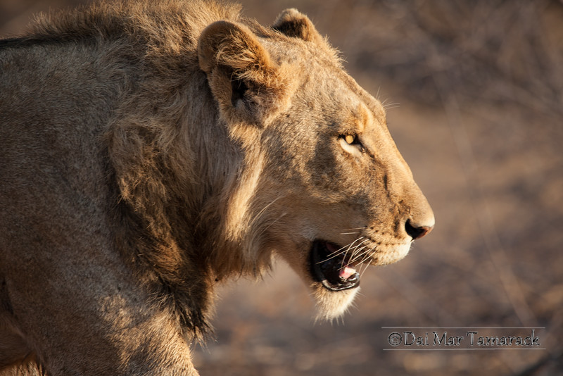 Early light on a Young Male Lion