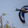 Colors of a Lylic Breasted Roller in Flight