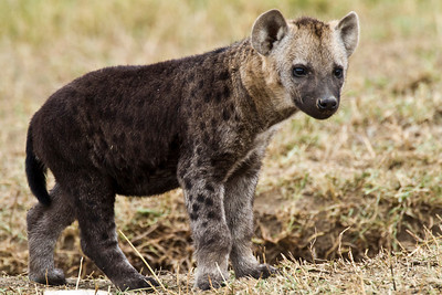 A young hyena pup exploring on the edge of his den.