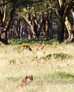 The Hyena turns his attention to us while watching impalas feed in the grass