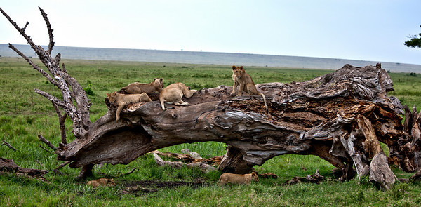 A fallen tree makes a comfortable rest for this pride of lions