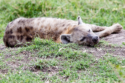 Even hyenas need a break after a hard days work.