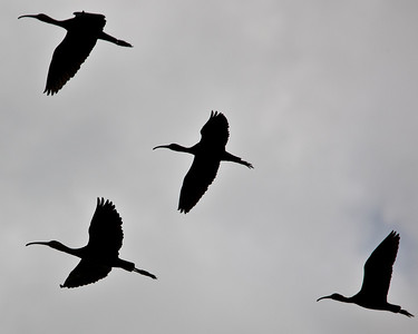 Ibis flying overhead in silhouette