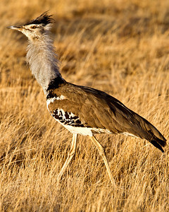 Kori bustard on the plain