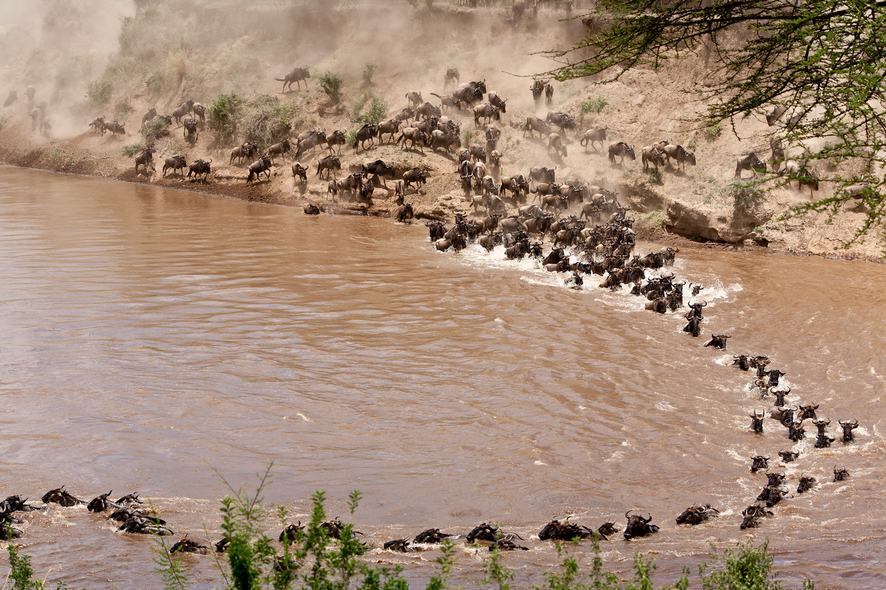 Wildebeast crossing the Mara river swept off course by the current