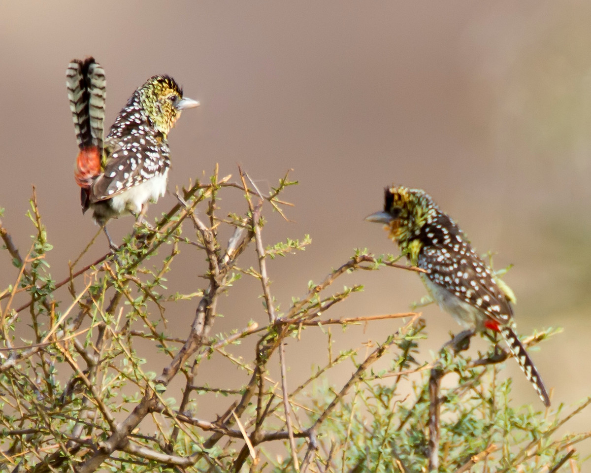 Darnaud's barbets displaying during courtship