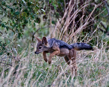 Pounce!!  A striped Jackal hunts